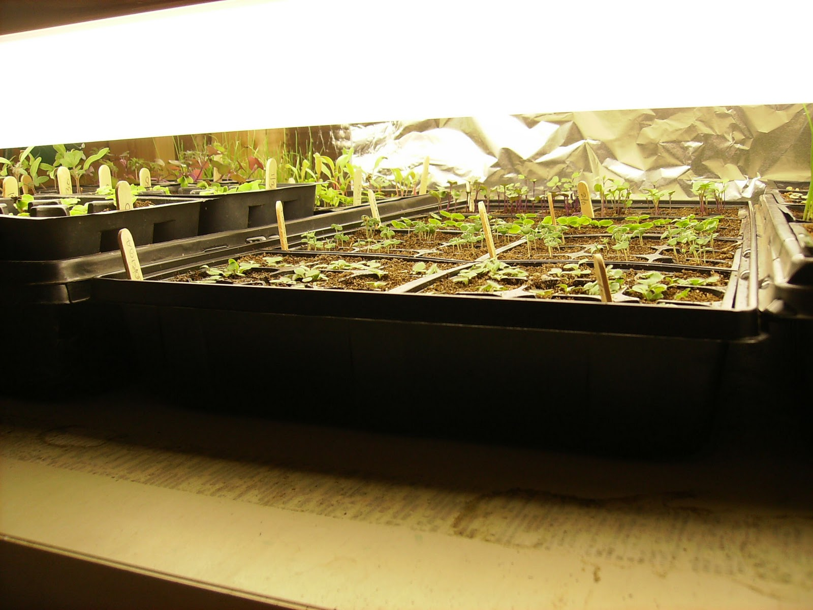 how to raise seeds in seed trays