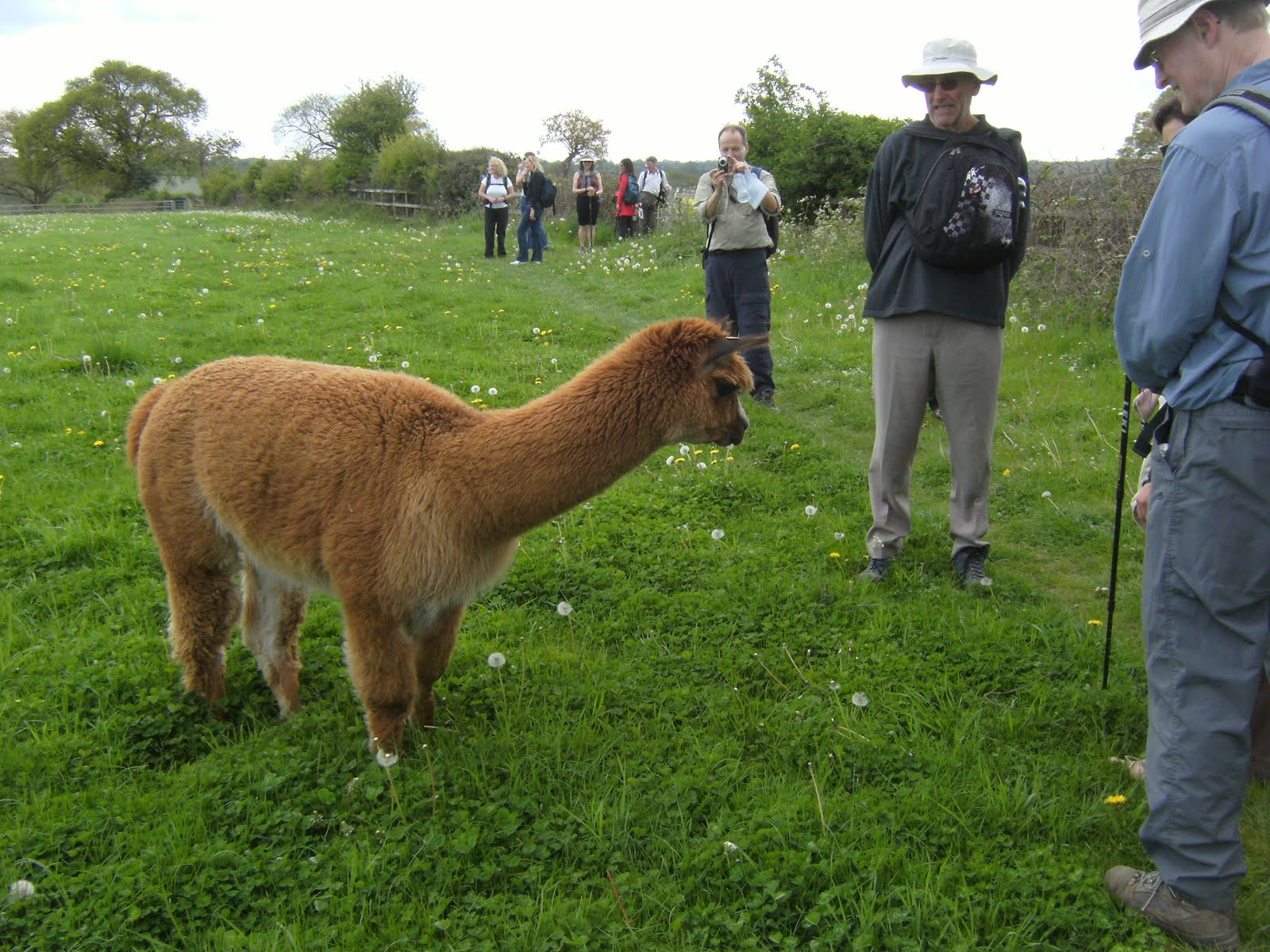 1005150006 Inquisitive alpaca at Dungrove Farm