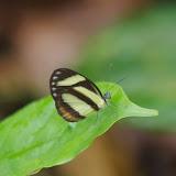 Itaballia pandosia kicaha (REAKIRT, 1863), femelle. Tunda Loma à Calderon (Esmeraldas), 7 décembre 2013. Photo : J.-M. Gayman