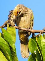 Straw-headed Bulbul (Pycnonotus zeylanicus)