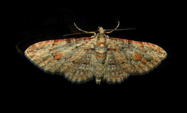 Geometridae : Larentiinae : Xanthorhoini : probablement Epyaxa subidaria GUENÉE, 1857. Umina Beach (NSW, Australie), 2 novembre 2011. Photo : Barbara Kedzierski
