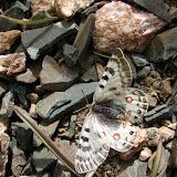 Parnassius delphius namangamus ELWES, 1886, Alabel Pass (3200 m), 28 juin 2006. Photo : E. Zinszner