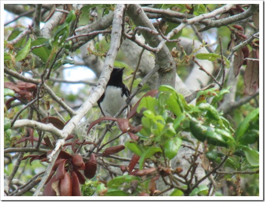 2017-05-05 Florida, Stuart - Black Throated Blue Warbler Bird (4)