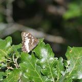 Brintesia circe (FABRICIUS, 1775). Serre de la Chasse, 780 m, Cocurès (Lozère), 7 août 2013. Photo : J.-M. Gayman