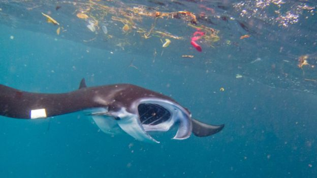 Microplastics risk: Filter feeders like manta rays are at risk from microplastics. Photo: Elitza Germanov / Marine Megafauna Foundation