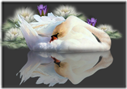 cisnes-buscoimagenes-21_thumb