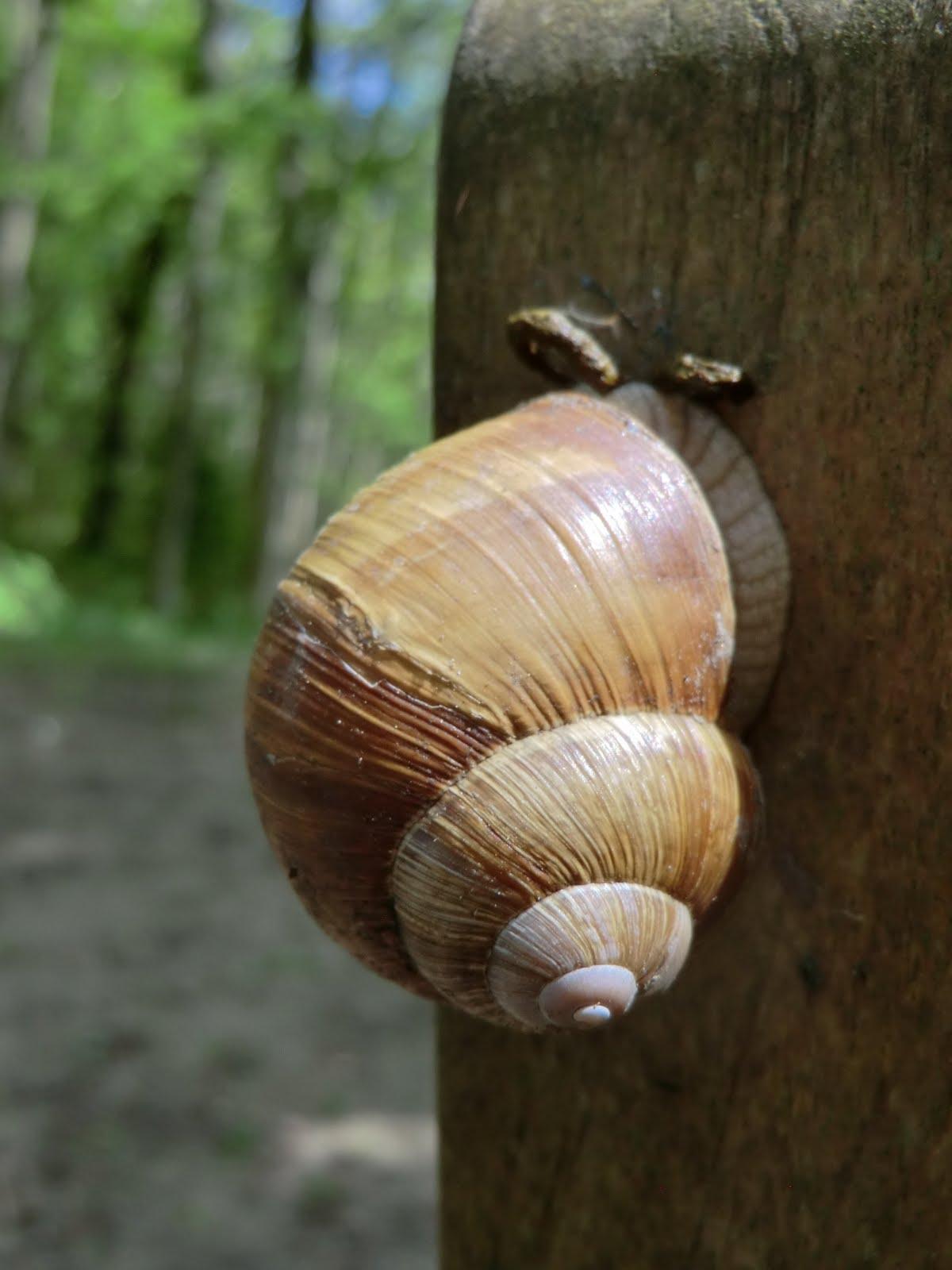 CIMG8147 A Roman snail on its way up