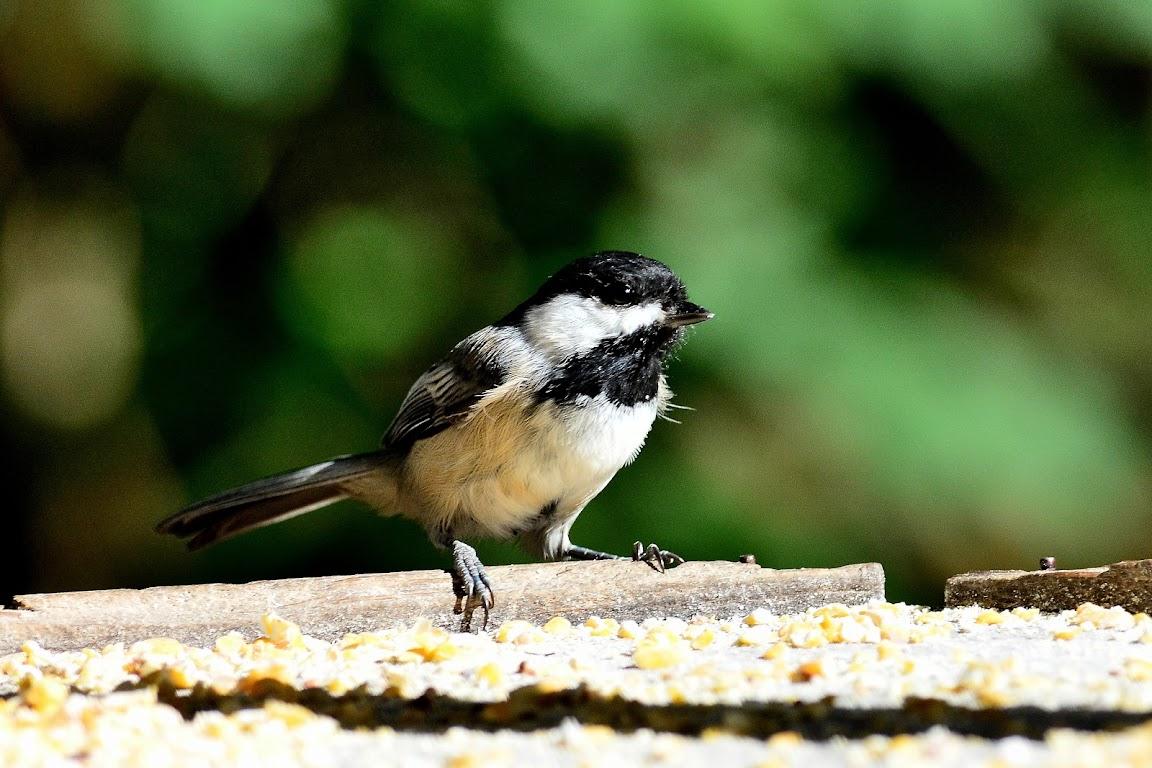 奧勒岡州 - 蜂鳥