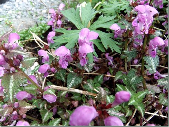Lamium maculatum roseum