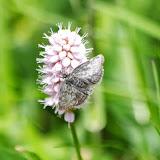 Noctuidae. Fex Curtins, 1980 m (Grisons, CH), 10 juillet 2013. Photo : J.-M. Gayman