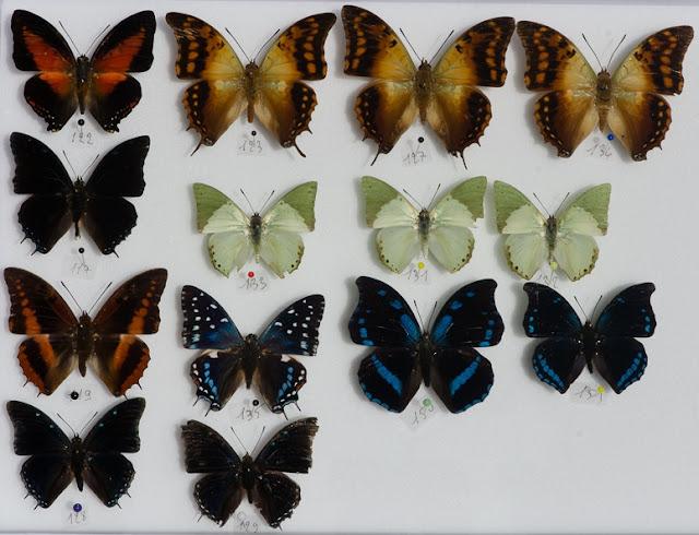 Charaxes. Ebogo, avril 2013. Coll. et photo : C. Basset - Dont : Charaxes zingha, C. candiope, C. eupale, C. cynthia kinduana, C. etesipe etesipe, C. doubledayi, C. lycurgus bernardiana