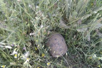 Kilis - Antep yolu üzerinde Kaplumbağa.jpg