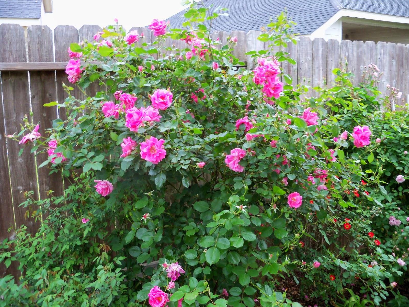 Gardening 2014 - 116_1493.JPG