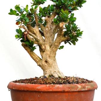 isopuksipuu