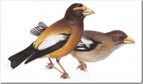 EveningGrosbeak