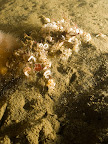 A crab covered in nudibranch eggs