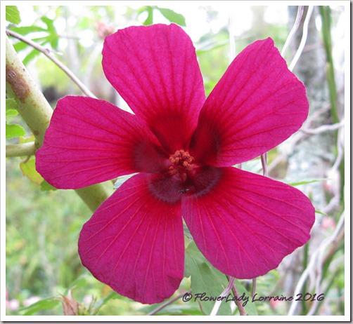 12-09-ruby-hibsicus