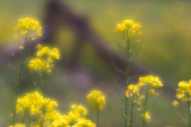 wollensak verito 菜の花