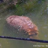 04-07-12 Homosassa Springs State Park - IMGP0036.JPG