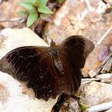 Satyrini : Pronophilina : Pronophila cordillera WESTWOOD, 1851. Route de Satipo près d'Allapa (Junin, Pérou), 8 janvier 2011. Photo : Meena