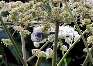 Blue Tit, Youlgreave, Derbyshire