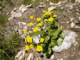 Populage Caltha palustris Renonculacees 2.JPG