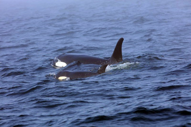 In this 7 August 2018 photo, Southern Resident killer whale J50 and her mother, J16, swim off the west coast of Vancouver Island near Port Renfrew, B.C. Nearly two months after an international team of experts began taking extraordinary measures to save the young sick orca, the critically endangered whale was skinnier than ever. NOAA Fisheries and its partners weighed whether to intervene further to help the orca known as J50. Photo: Brian Gisborne / Fisheries and Oceans Canada / AP
