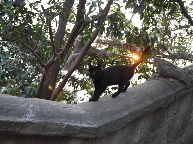 cat walking on a stone wall in Chongqing