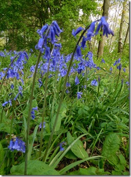 14 bluebells