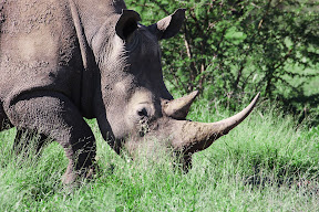 Female Rhino, South Africa