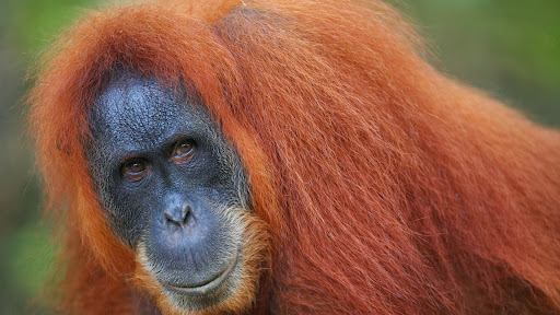 Male Orangutan, Borneo Malaysia.jpg