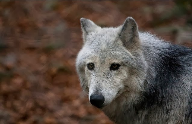 animal, photo, wolf, wolves