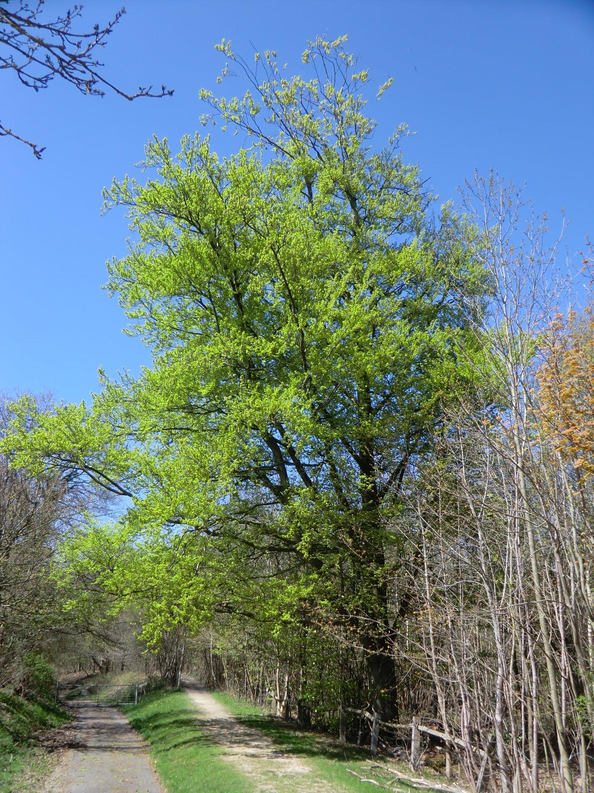 CIMG6345 Woodland path near Hever Castle