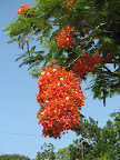 Flamboyan Tree in Esperanza