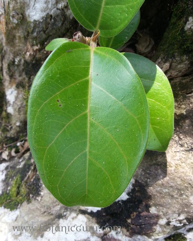 Pterocarpus indicus, Burmese Rosewood leaves