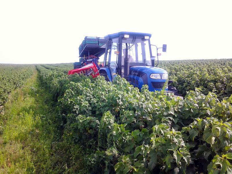 трактор собирает смородину