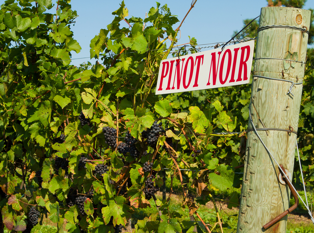 Pinot Noir, North Patagonia Vineyard, Argentina