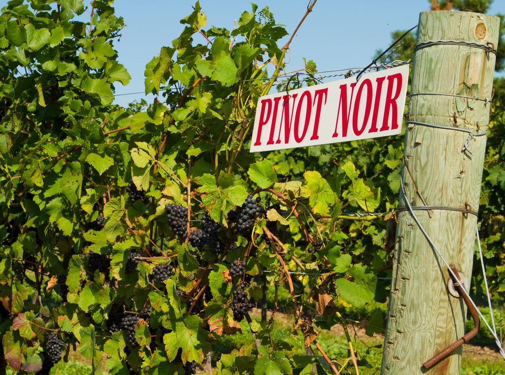 Pinot Noir, North Patagonia Vineyard, Argentina