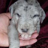Jessie's blue merle female @ 3 weeks
