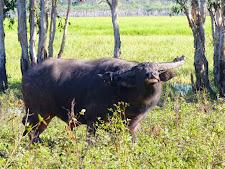 Buffalo are naturally curious