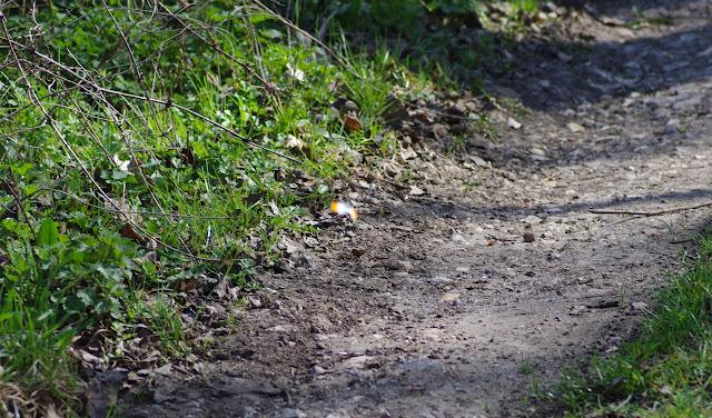 Anthocharis cardamines, mâle. Les Hautes-Lisières (Rouvres, 28), 27 mars 2012. Photo : J.-M. Gayman