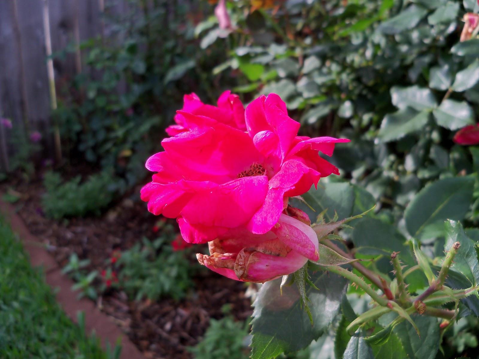 Gardening 2010, Part Two - 101_2268.JPG