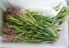 Ферментация Иван-Чая (Кипрея)