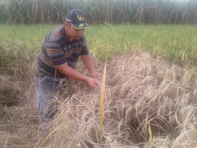 Wereng Serang Puluhan Hektar Tanaman Padi