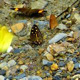 Anthanassa drusilla drusilla (C. Felder & R. Felder, 1861). Chovacollo, près de Coroico, 1800 m (Yungas, Bolivie), 29 décembre 2014. Photo : Jan Flindt Christensen