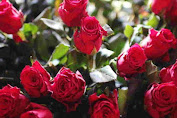 Yu kita budidaya bunga mawar