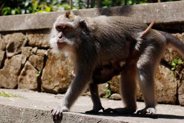 Una madre con su cría en el Monkey Forest