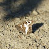 Brintesia circe FABRICIUS, 1775. 1760 m, Super Sauze (Alpes-de-Haute-Provence), 12 août 2009. Photo : J.-M. Gayman
