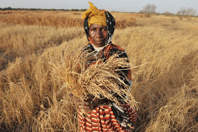 A farmer in The Gambia shows a dry tuft of rice in a drought period. Photo: Seyllou Diallo / FAO