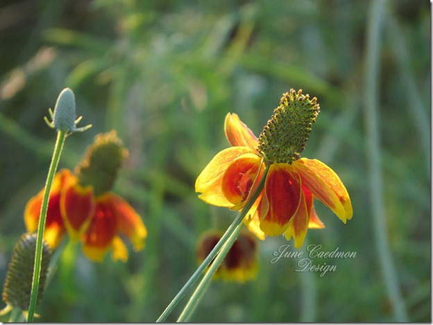 Mexican_Hat_Wildflower